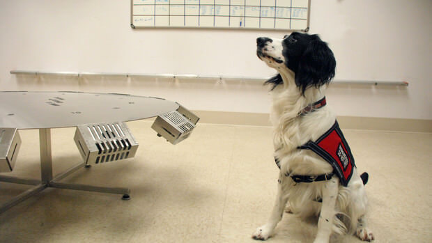 A cancer-sniffing dog at undergoing training. (Image courtesy of Bloomberg)