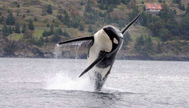 Killer whales are among the few animals capable of vocal learning. (Image courtesy of the National Oceanic and Atmospheric Administration.)