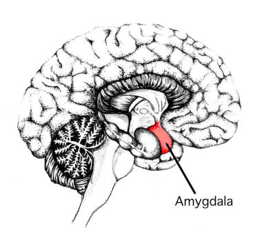 amygdala-medial-temporal-lobe-neurons-brain-human1