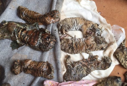 The remains of tiger cubs are laid out in the Tiger Temple in Thailand. (Image courtesy of CBC News)