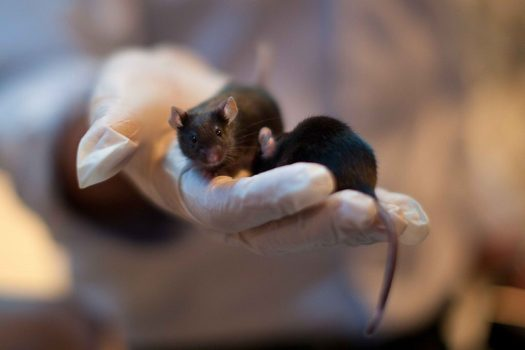 Mice infected by the Zika virus. (Image courtesy of Tech Times)